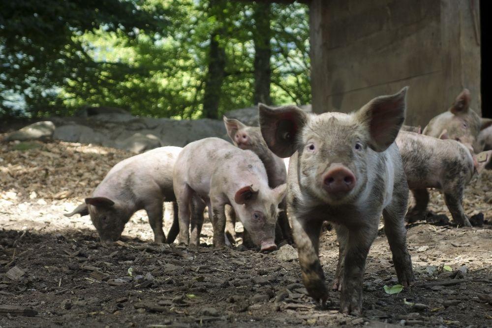 Viral Ada di Depok, Ini Fakta-Fakta Tentang Babi Ngepet