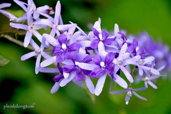 15 Jenis Tanaman Bunga Merambat yang Tahan Panas