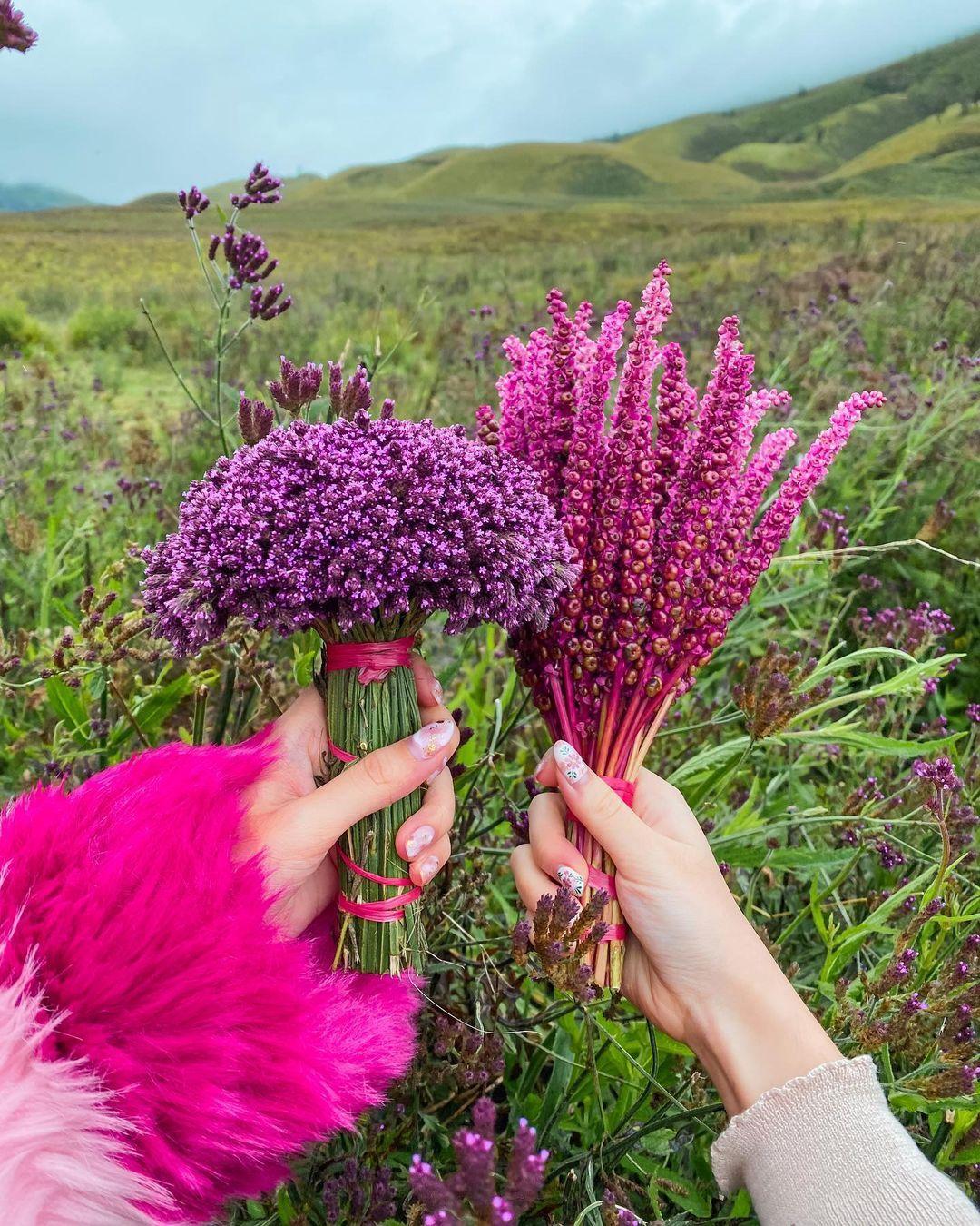 Fakta-Fakta di Balik Budidaya Bunga Edelweiss di Wisata Bromo