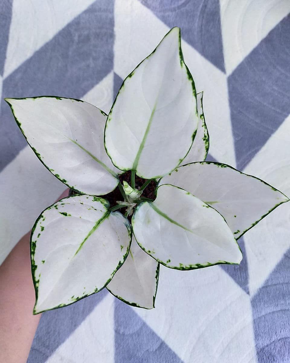 Cantik dan Anggun, Ini 8 Jenis Tanaman Hias Berdaun Putih