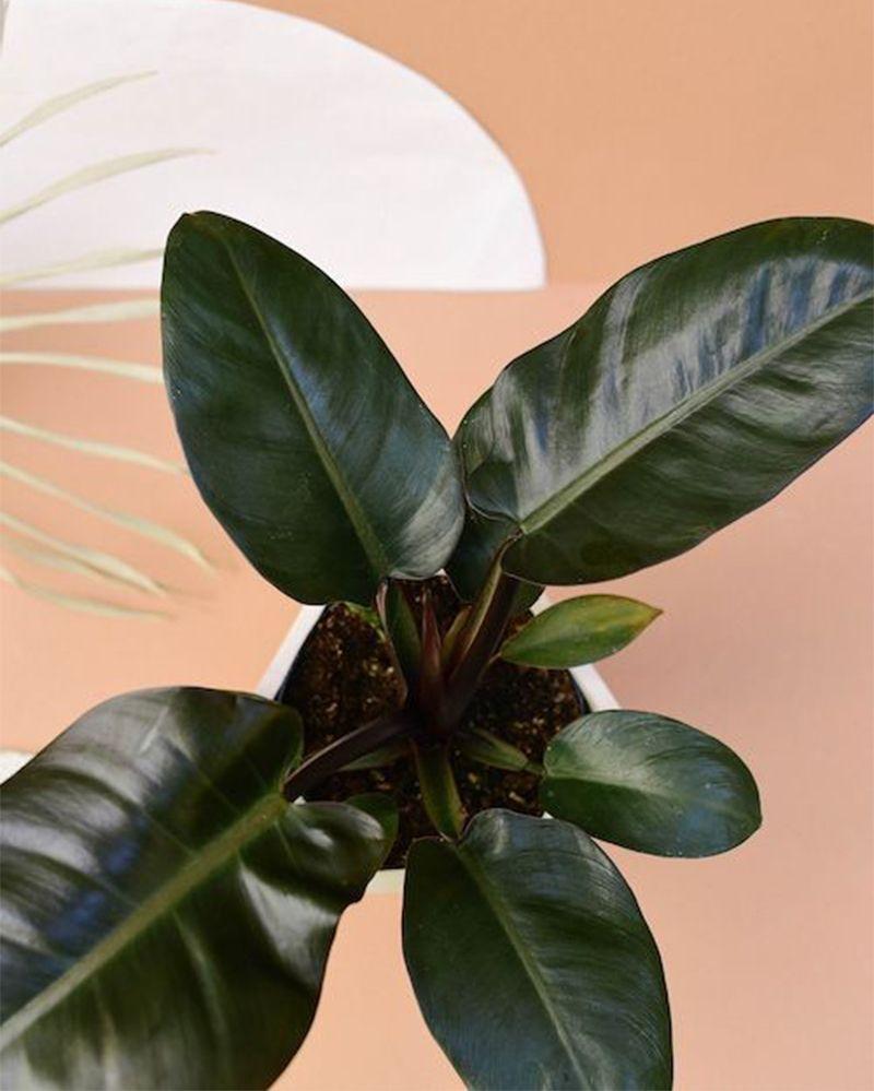 5 Rekomendasi Tanaman Hias Berdaun Hitam yang Indah untuk Dekorasi
