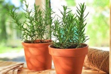 7 Tips Menanam Merawat Tanaman Rosemary agar Tetap Sehat